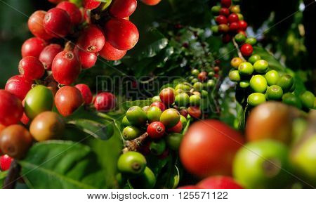 Harvest berries of coffee plantation. Coffee plant.