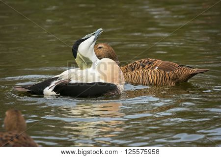 Courtship Common Eider adult male during the mating season, the Netherlands