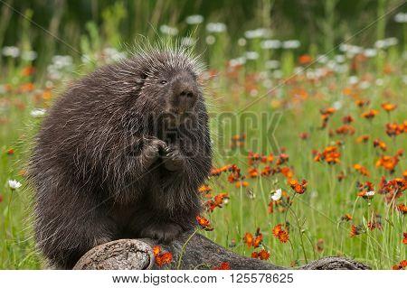 Porcupine (Erethizon dorsatum) Sits with Paws Up - captive animal