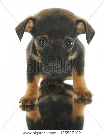 Front and center image of a tiny black and orange-brown puppy standing on a mirror.  On a white background.
