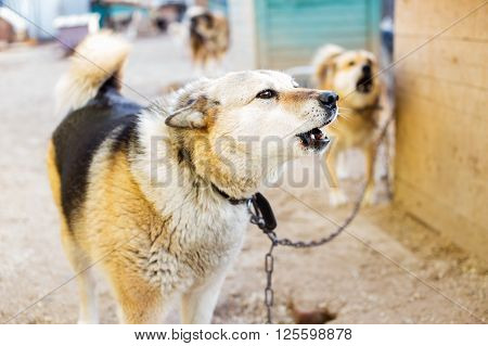 barking dog on a chain. dogs guarding the house
