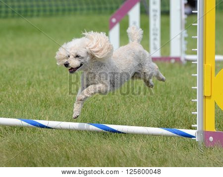 Toy Poodle Leaping Over a Jump at an Agility Trial ** Note: Visible grain at 100%, best at smaller sizes