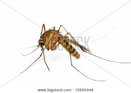 Supermacro of Mosquito isolated on white. poster