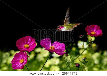 Ruby-throated Hummingbird (Archilochus colubris) with Pink Cosmos Flowers