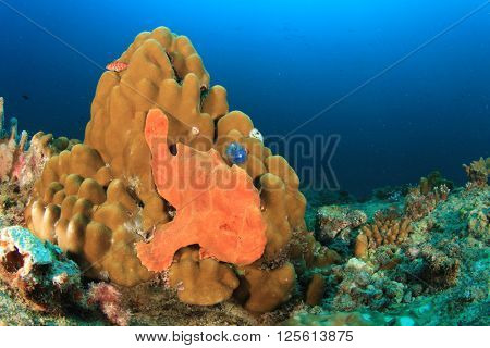 Giant Frogfish on coral