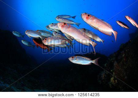 Red Bigeye fish on coral reef