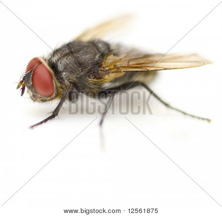 Supermacro of a House Fly isolated