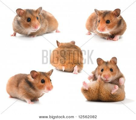 Funny Hamsters Collection poster