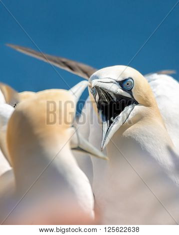 Northern gannet (Sula bassana) head portrait of two fighting beautiful sea bird with opened beak and blue sea water in the background Helgoland island Germany
