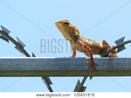 tropical Garden Fence Lizard Calotes versicolor resting on a metal fence on sunny summer day ** Note: Soft Focus at 100%, best at smaller sizes