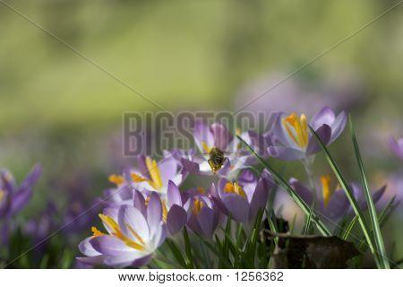 Bee And Crocus Flowers