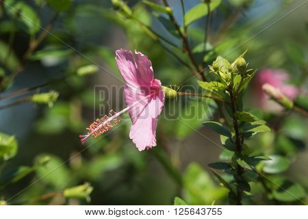 A pink Hibiscus rosa-sinensis flower in bloom