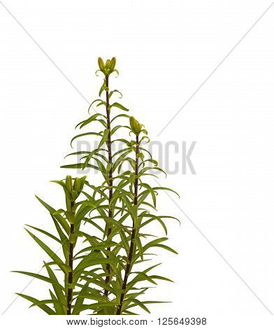 The branch of lilies Asian hybrids with buds on a white background isolated