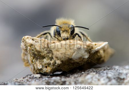 Solitary bee head on. A mining bee in the order Hymenoptera, family Apiaceae, showing hairs on face and mandibles
