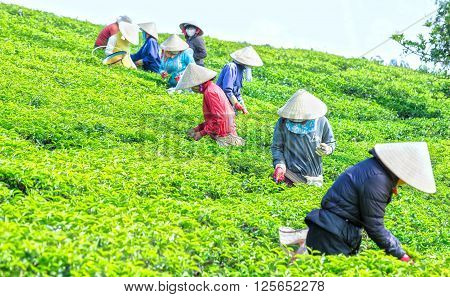 Lam Dong, Vietnam - 3rd March, 2016: Group farmers picking tea vertical uses hands to gather harvest tea leaves  factory on hill in the morning plateaus Lam Dong, Vietnam