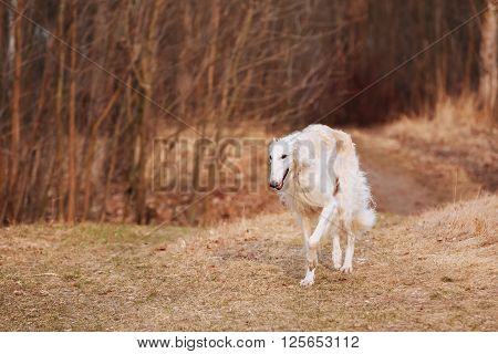 White Russian Wolfhound Dog, Borzoi, Russian Hunting, Sighthound, Gazehound, Russkaya Psovaya Borzaya, Psovoi. Autumn Season.