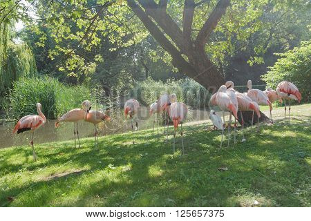 Flock of Chilean flamingos are preening itself at green summer outdoor background