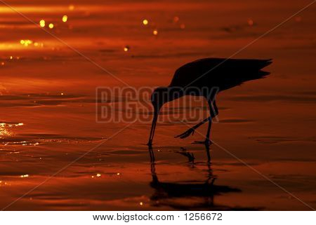 Marbled Godwit Feeding On The Beach At Sunset