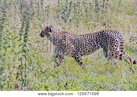 The Cheetah is an atypical member of the felines, since it utilizes its speed during the chase and not invisibility. The Cheetah is the fastest of all terrestrial animals and can reach a top speed of just under 93 kilometers per hour over short distances.