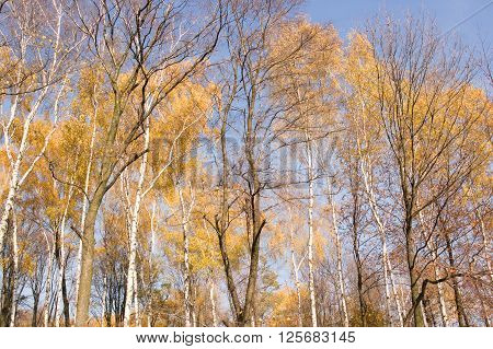 a birch forest during autumn seson in Poland