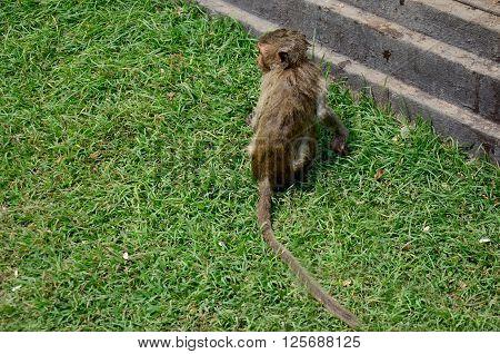 Monkeys Playing At Phra Prang Samyod