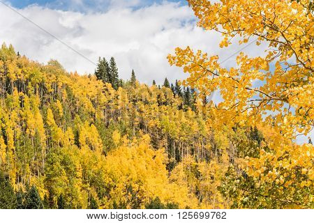 Golden Aspen Forest in the San Juan Mountains in Colorado