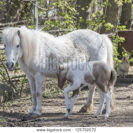 Hatchling pony with his mother on the farm