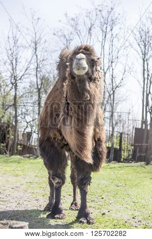 Bactrian camels at the spring farm . April 10, 2016