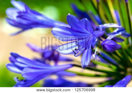 blue Agapanthus flower blooming in the garden