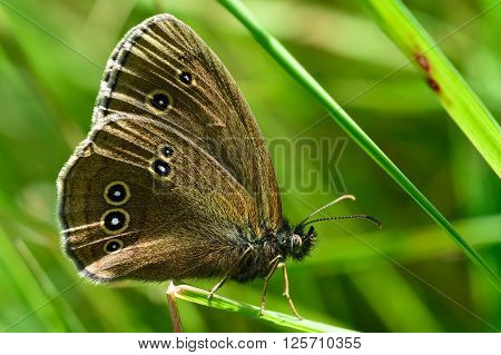 Ringlet butterfly (Aphantopus hyperantus). Butterfly in the family Nymphalidae at rest on a blade of grass, showing false eyes on wings