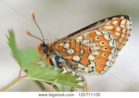 Marsh fritillary (Euphydryas aurinia). Endangered butterfly in the family Nymphalidae, at rest showing beautifully patterned underside of wings
