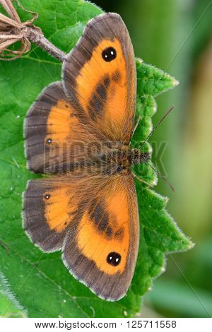 Gatekeeper butterfly (Pyronia tithonus) male. A familiar insect seen from above, with the dark sex bands of the male visible within orange patches