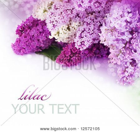 Spring Lilac Border.Isolated on white