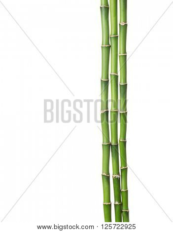 Three branches of bamboo isolated on white background.