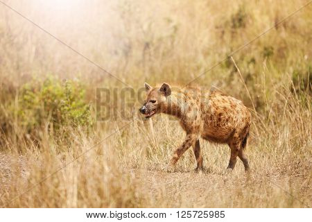 Side portrait of spotted hyena walking in the grass of Kenyan savannah