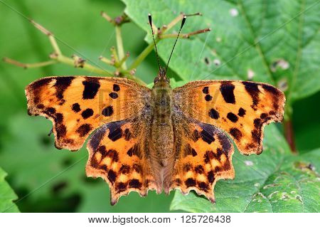 Comma (Polygonia c-album) from above. Unusually shaped butterfly in the family Nymphalidae, with black and orange upper surface of wings on display