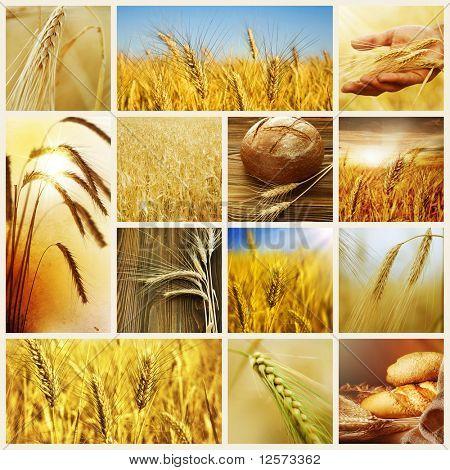 Wheat.Harvest Konzepte.Getreide-collage