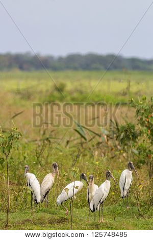 A lot Wood Storks (Mycteria americana)standing in vegetation - Mato Grosso do Sul - Brazil