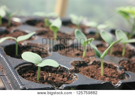 Young cucumber plants