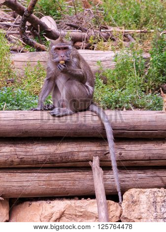 macaca fascicularis sitting on a log in the grass and eating