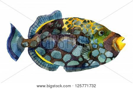 Watercolor clown triggerfish. Hand painted illustration of tropical fish