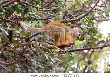 Squirrel monkey Saimiri on a tree branch in a nature reserve ** Note: Shallow depth of field