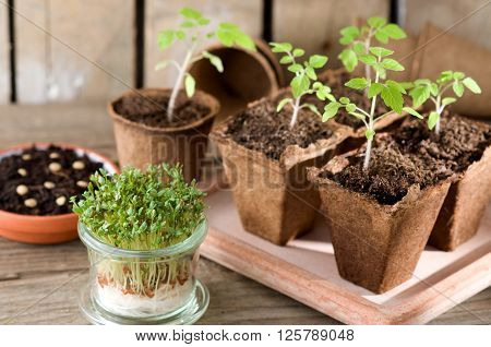 Sprouting tomato seedlings and garden cress on the windowsill