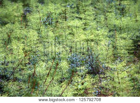 Large thicket of lush green equisetum in a forest