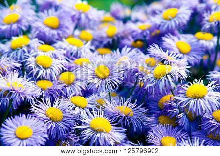 Symphyotrichum novi-belgii also known as New York Aster is the type species for Symphyotrichum a genus of the family Asteraceae