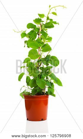 green Actinidia deliciosa plant on white background