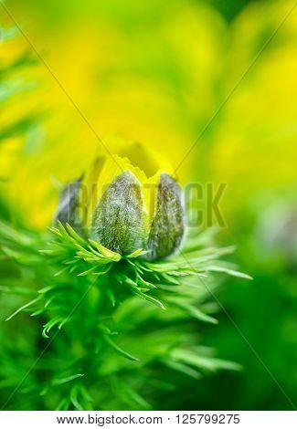 Yellow flowers of adonis (Adonis vernalis)/ Close-up