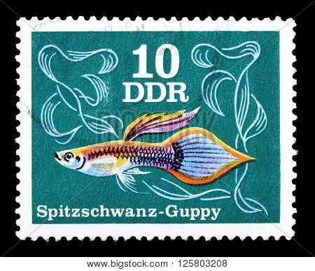 GERMAN DEMOCRATIC REPUBLIC - CIRCA 1976 : Cancelled postage stamp printed by German Democratic Republic, that shows Pointed tail Guppy