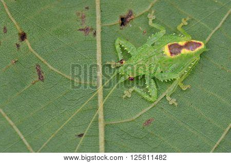 a beautiful jade green color katydid nymph