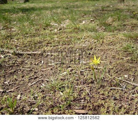 Single flower growing in the meadow, covered with branches